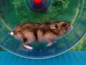 Ein Hamster im Laufrad (Foto: Wikipedia-User Doenertier82)