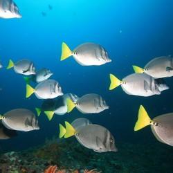 Galapagos-Doktorfisch (Foto: Laszlo Ilyes, Cleveland, Ohio, USA)