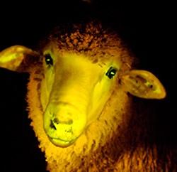 Durch Genmanipulation wurden kürzlich phosphoreszierende Schafe geschaffen… (Foto: Javier Calvelo)