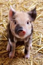 Billigfleisch und die Folgen