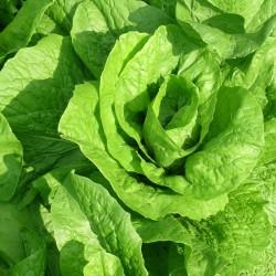 Salat (Bild: sferrario1968, Pixabay)