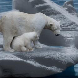 Eisbären (Bild: Gellinger, Pixabay)